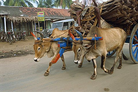 Bullock carts are still the main means of transport for locals, Tamil Nadu state, India, Asia