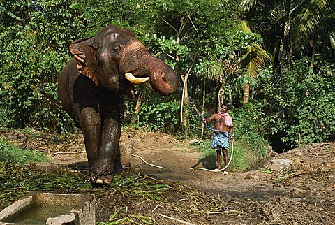 A mahoot with a single elephant, Punnathur Kotta Elephant Fort housing 50 elephants and financed by the temples, Kerala, India, Asia