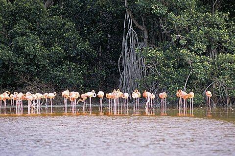 Flamingos, Celestun National Wildlife Refuge, Celestun, Yucatan, Mexico, North America