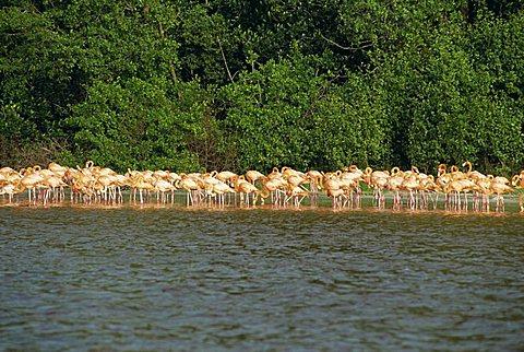 Flamingos, Celestun National Wildlife Regufe, Celestun, Yucatan, Mexico, North America