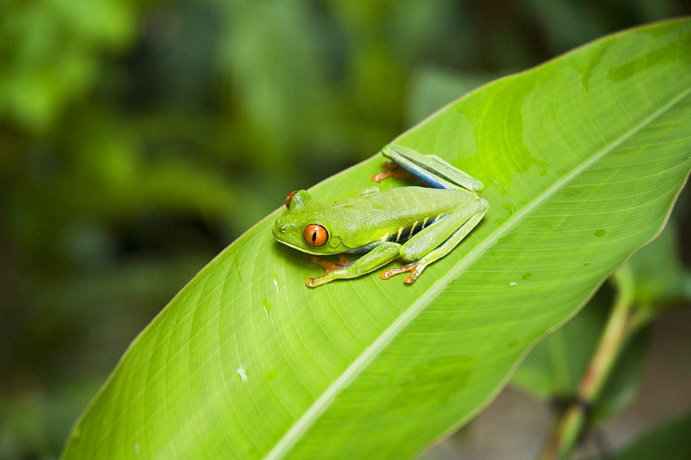 Red eyed tree frog, Tortuguero National Park, Costa Rica - 641-5934