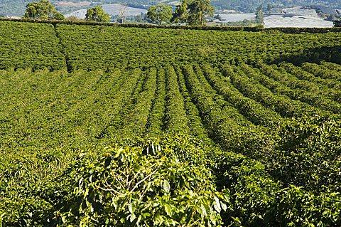 Coffee plantations on the slopes of the Poas Volcano, near San Jose, Costa Rica