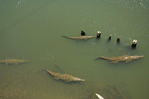 Crocodiles seen from the bridge over the River Tarcoles, near Puntarenas, Costa Rica, Central America