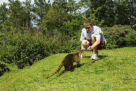 Feeding a coati mundi in the grounds of Arenal Observatory Lodge, Arenal, Costa Rica, Central America