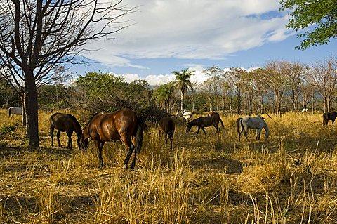 Farmland with horses grazing, Hacienda Guachipelin, near Rincon de la Vieja National Park, Guanacaste, Costa Rica, Central America