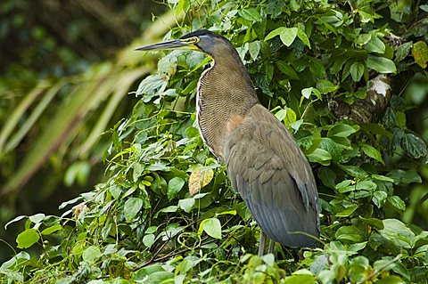 Tiger Heron, Tortuguero National Park, Costa Rica, Central America