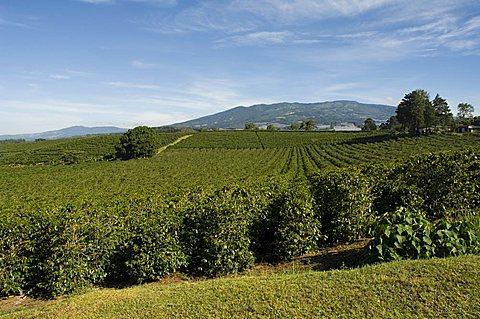 Coffee plantations on the slopes of the Poas Volcano, near San Jose, Costa Rica, Central America