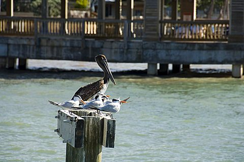 Pelican and sea birds on post, Key West, Florida, United States of America, North America