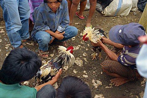 Fighting cocks, Toraja area, Sulawesi, Indonesia, Southeast Asia, Asia