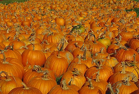 Large number of pumpkins for sale on a farm in Vermont, New England, USA, North America
