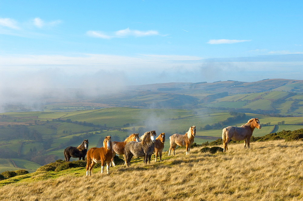 Welsh ponies, Eppynt, Cambrian Mountains, Powys, Wales,  United Kingdom, Europe - 663-802