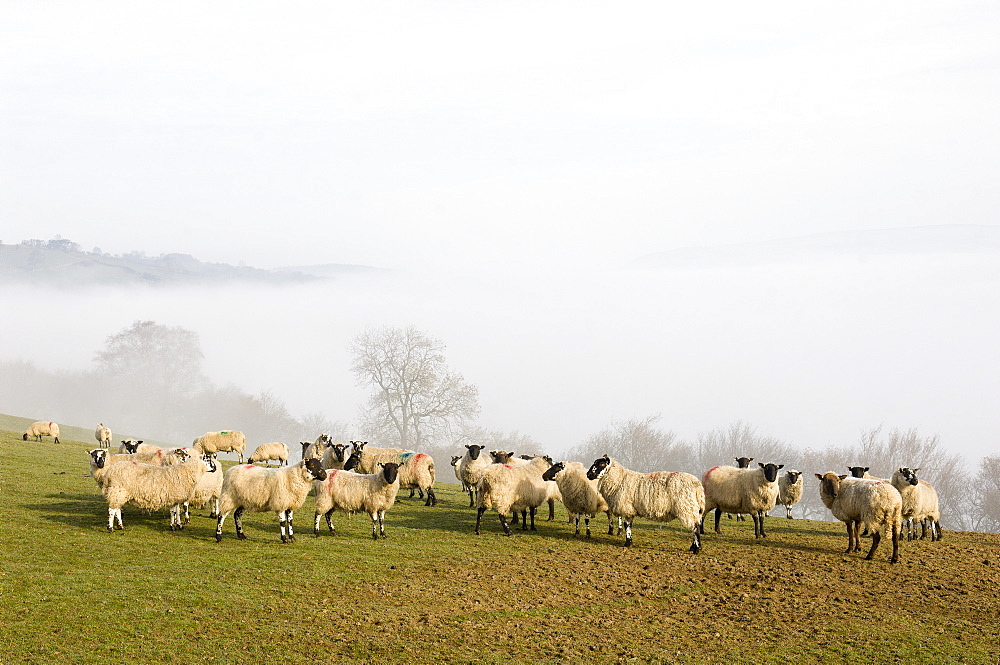 Sheep in misty weather on the Mynyd Epynt moorland, Powys, Wales, United Kingdom, Europe