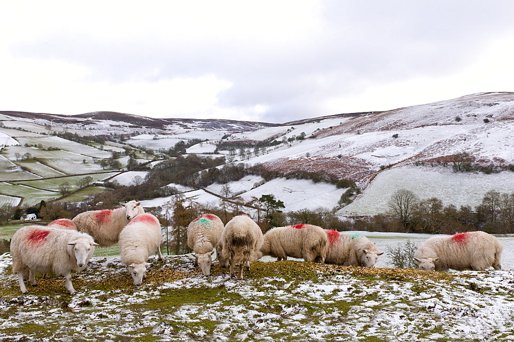 Sheep feed on high moorland in a wintry landscape in Powys, Wales, United Kingdom, Europe