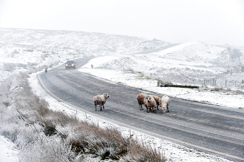 Sheep in a wintry landscape on the Mynydd Epynt moorland, Powys, Wales, United Kingdom, Europe - 663-848