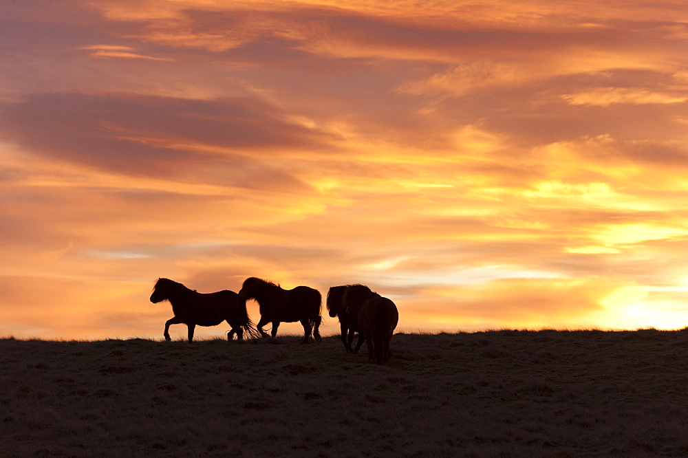 Welsh ponies silhouetted against the dawn sky on the Mynydd Epynt high moorland, Powys, Wales, United Kingdom, Europe