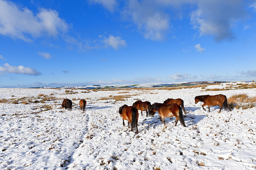 Ponies forage for food in the snow on the Mynydd Epynt moorland, Powys, Wales, United Kingdom, Europe - 663-856