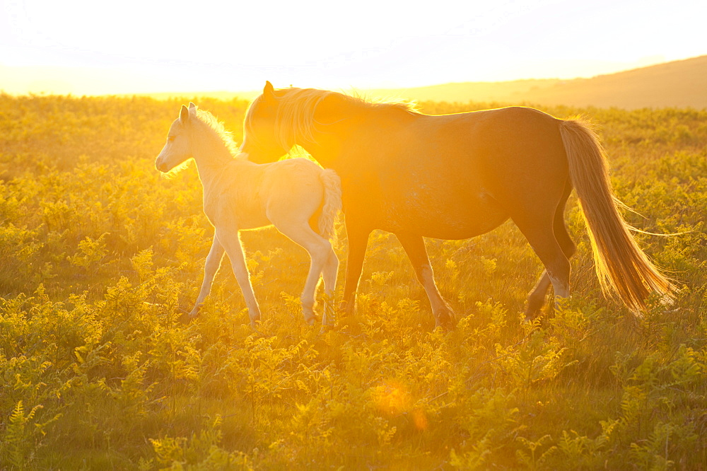 Welsh ponies and foals on the Mynydd Epynt moorland, Powys, Wales, UK.