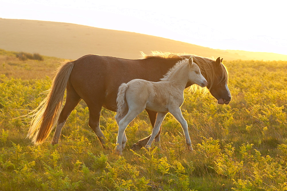 Welsh ponies and foals on the Mynydd Epynt moorland, Powys, Wales, United Kingdom, Europe - 663-881