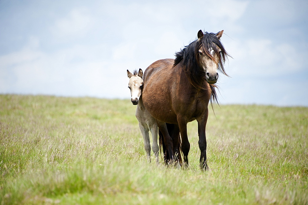 Welsh ponies and foals on the Mynydd Epynt moorland, Powys, Wales, United Kingdom, Europe - 663-883