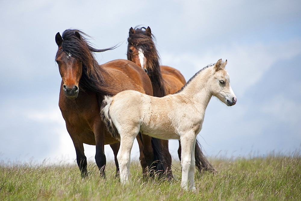 Welsh ponies and foals on the Mynydd Epynt moorland, Powys, Wales, United Kingdom, Europe - 663-884