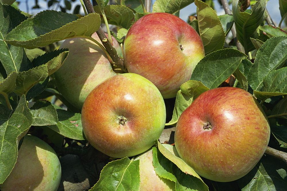 Ontario apples, Potager du Roi, Chateau de Versailles, France, Europe