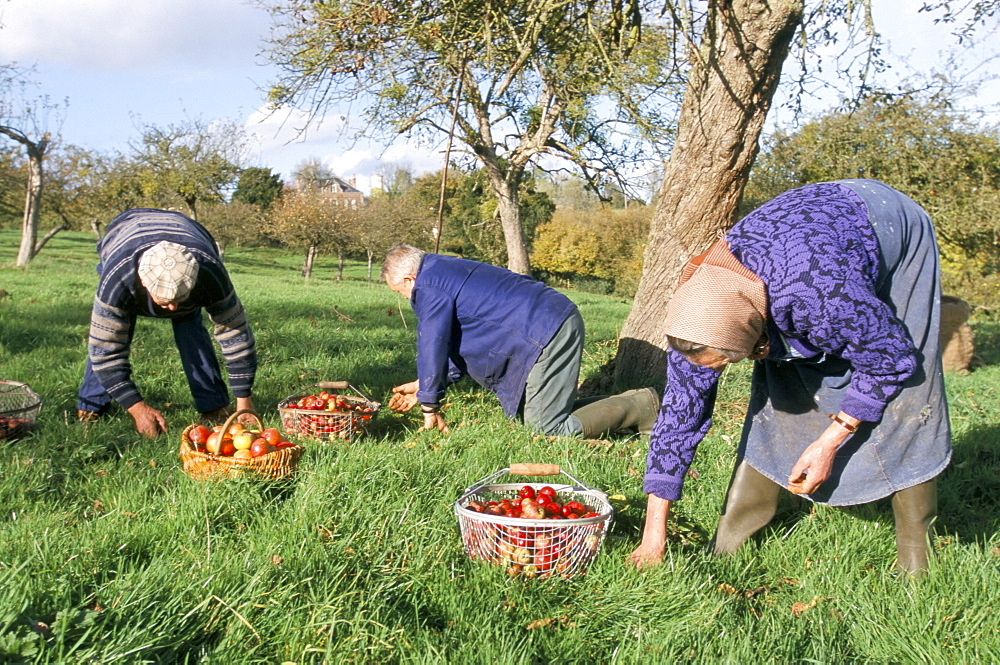 Gathering apples in an orchard, Auge region, Normandy, France, Europe