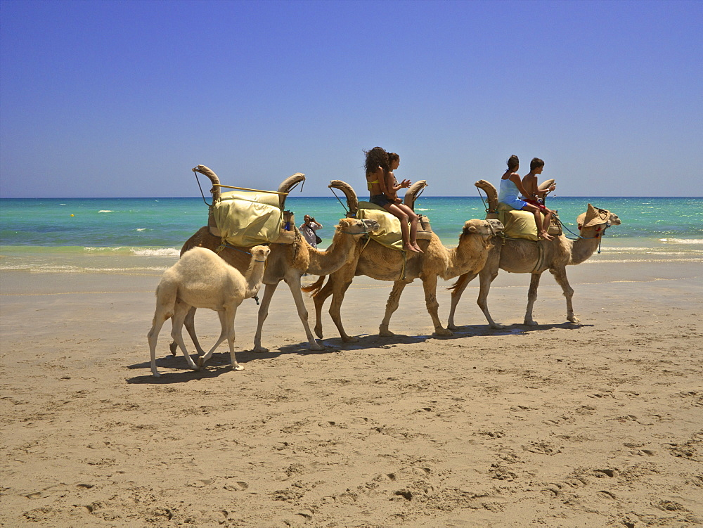 Tourists riding camels on the beach followed by baby camel, at sunset, Djerba, Tunisia, North Africa, Africa