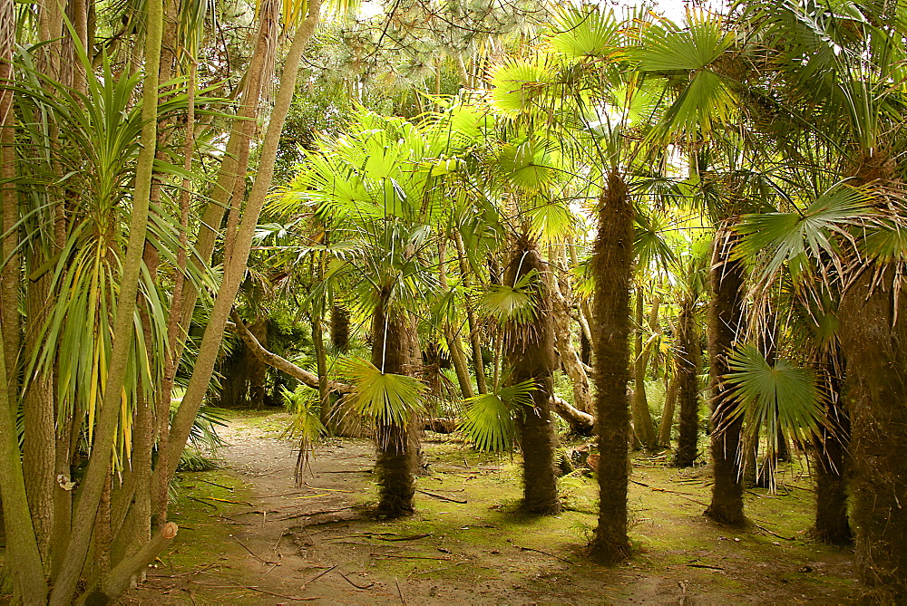 Palm trees, Botanical gardens of Chateau de Vauville, Cotentin, Normandy, France, Europe - 665-5486