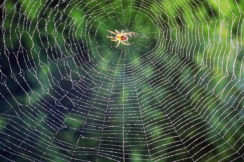 Spider in the centre of its web - 667-1362
