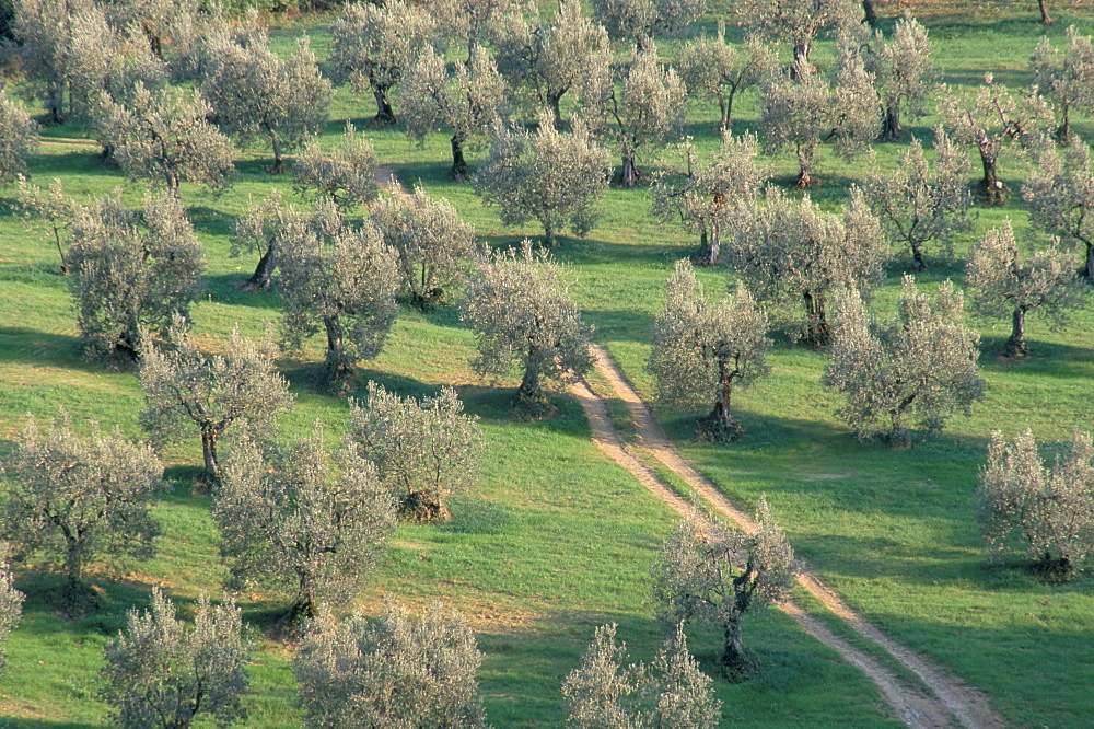 Elevated view over olive trees in olive grove, Tuscany, Italy, Europe