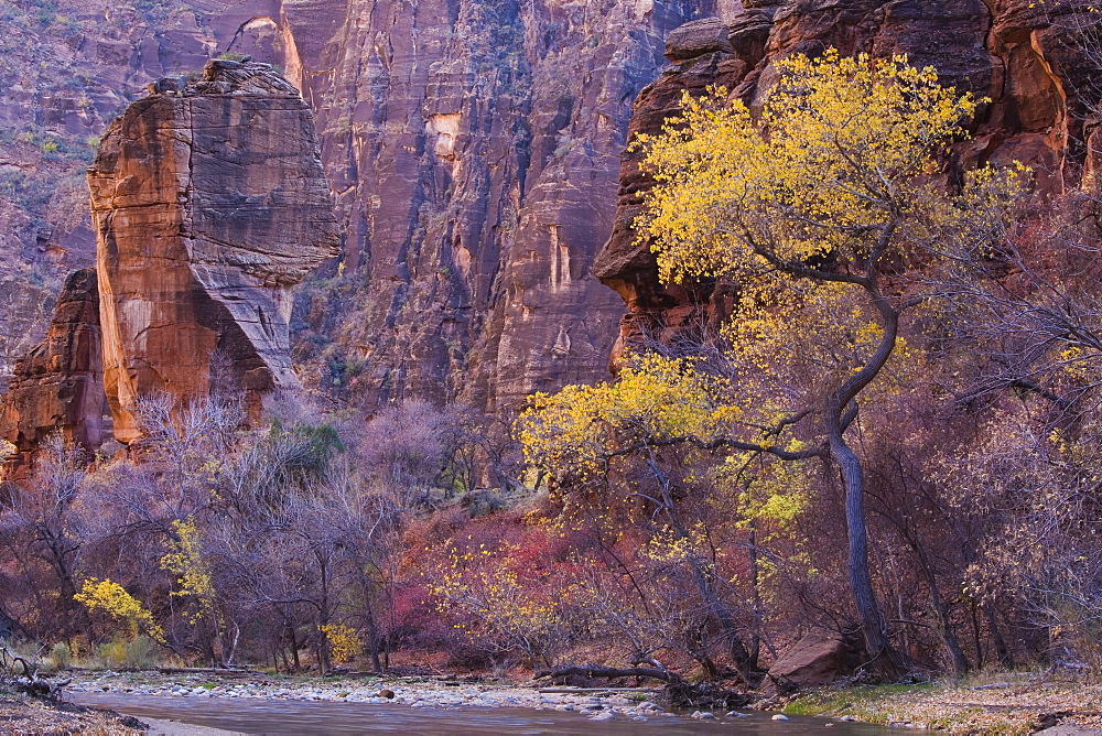 Cottonwood by the Virgin River, The Pulpit, Zion National Park in Autumn, Utah, United States of America, North America