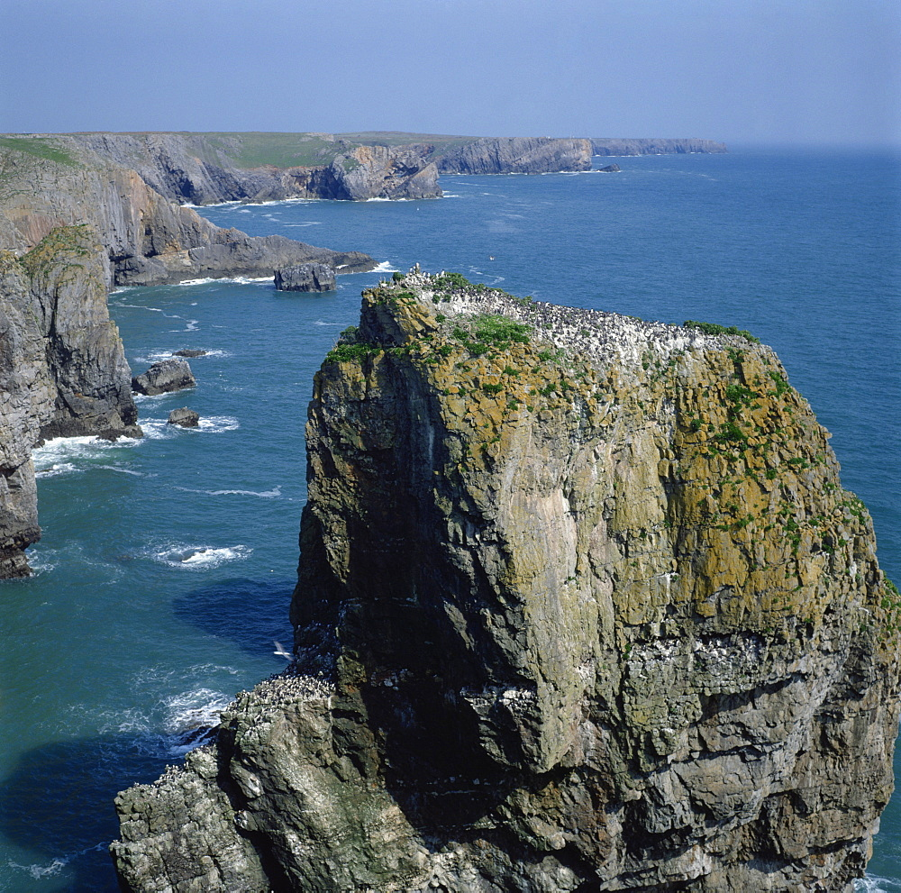 Seabird colony, Elegug Stacks, Pembrokeshire, Wales, United Kingdom, Europe