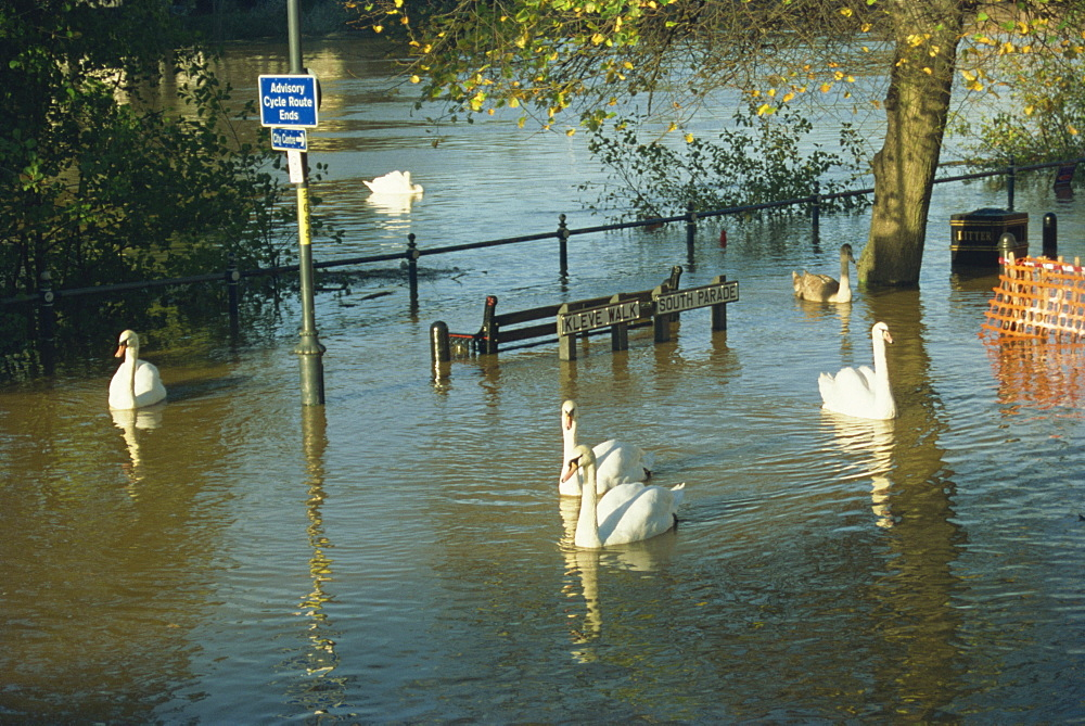 Swans swimming in street during the floods of 1998, Worcester, Worcestershire, England, United Kingdom, Europe