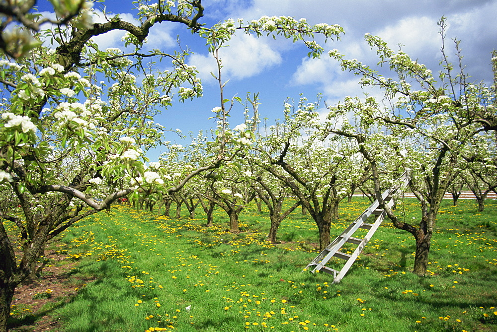 Pear blossom in orchard, Holt Fleet, Worcestershire, England, United Kingdom, Europe