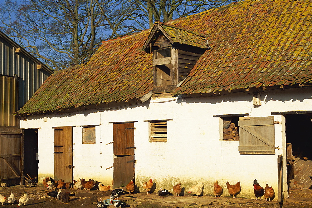 Exterior of a farm outhouse with chickens in the farmyard, near Montreuil in the Crequois Valley, Nord Pas de Calais, France, Europe