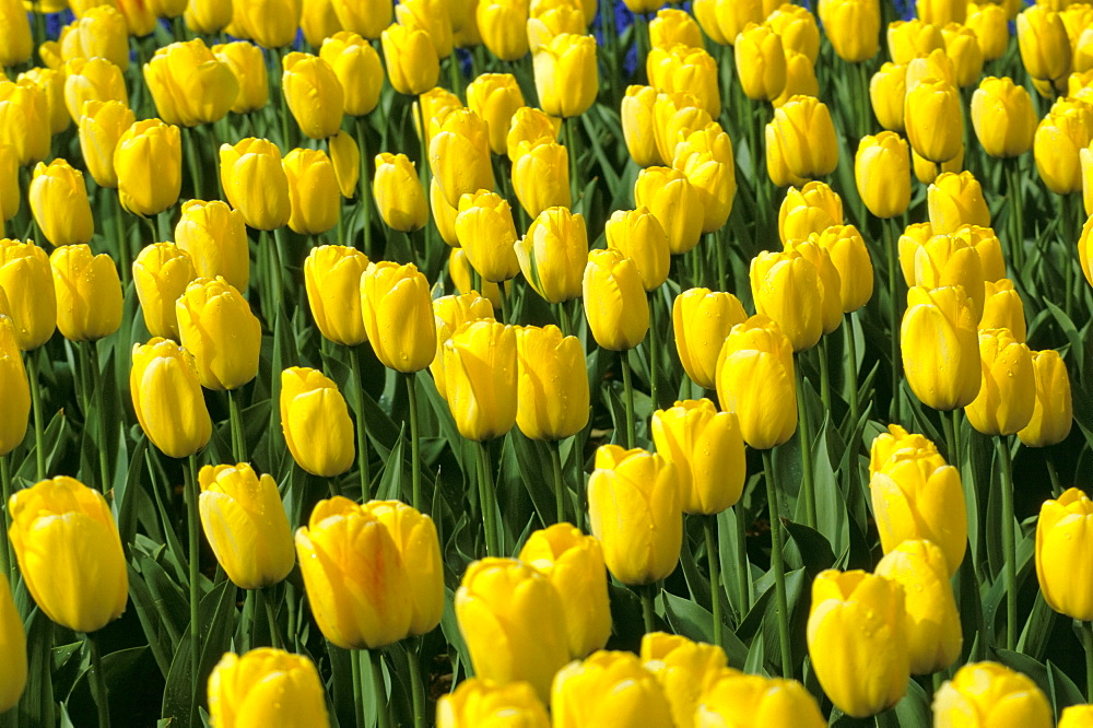 Close-up of yellow tulips in bulbfield, Lisse, The Netherlands (Holland), Europe