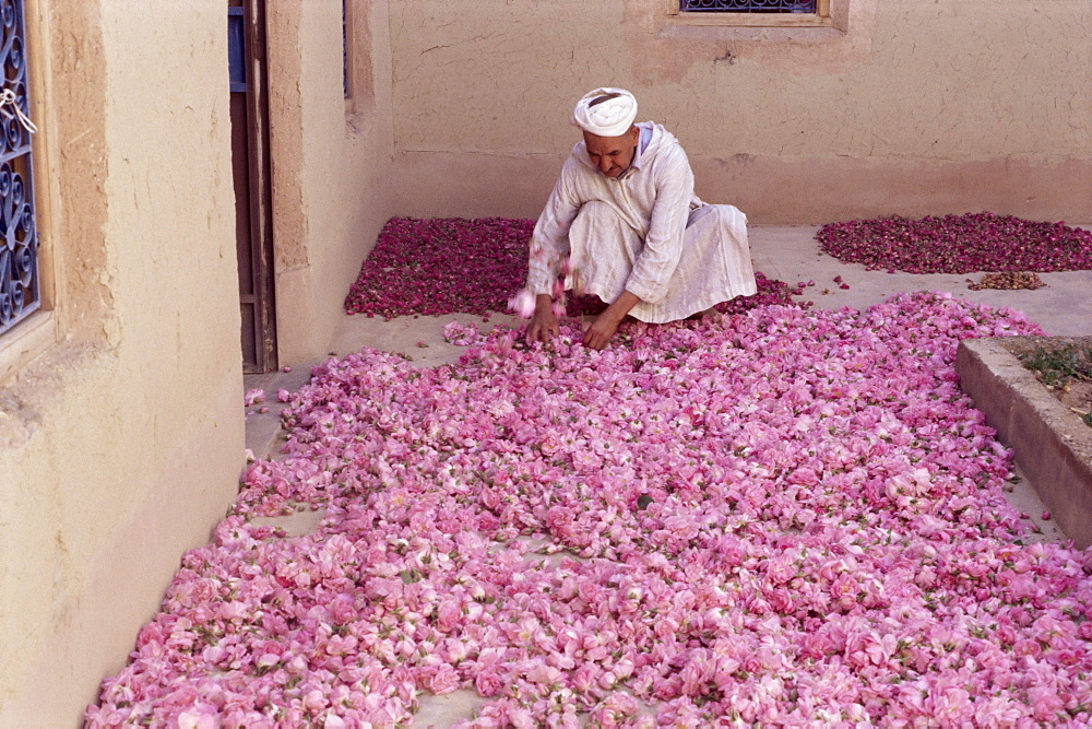 Roses drying in buyer's house, Roses Valley, southern area, Morocco, North Africa, Africa