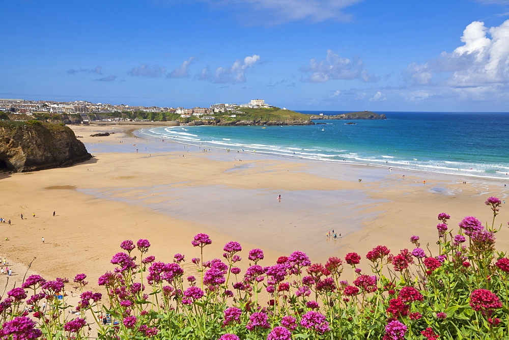 Newquay Beach with valerian in foreground, Cornwall, England, United Kingdom, Europe