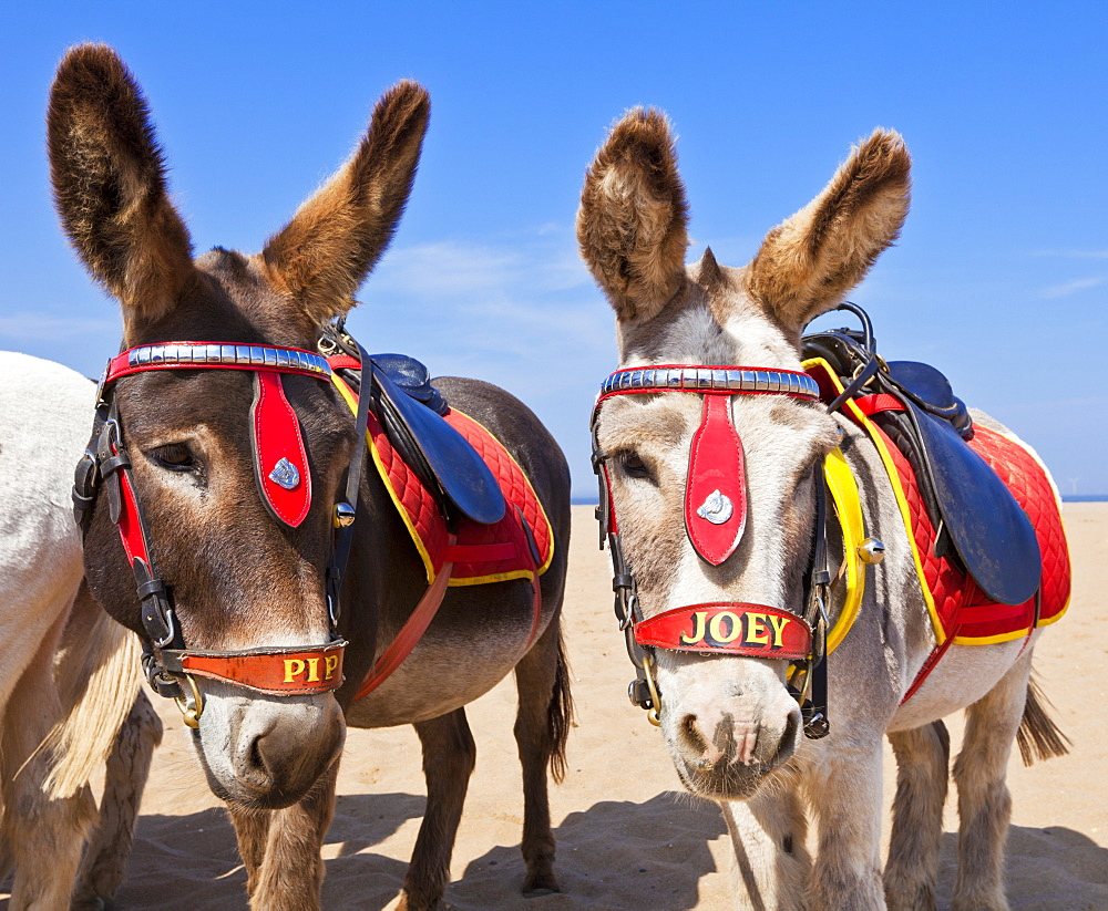 Donkeys on the beach, Skegness beach, Lincolnshire, England, United Kingdom, Europe