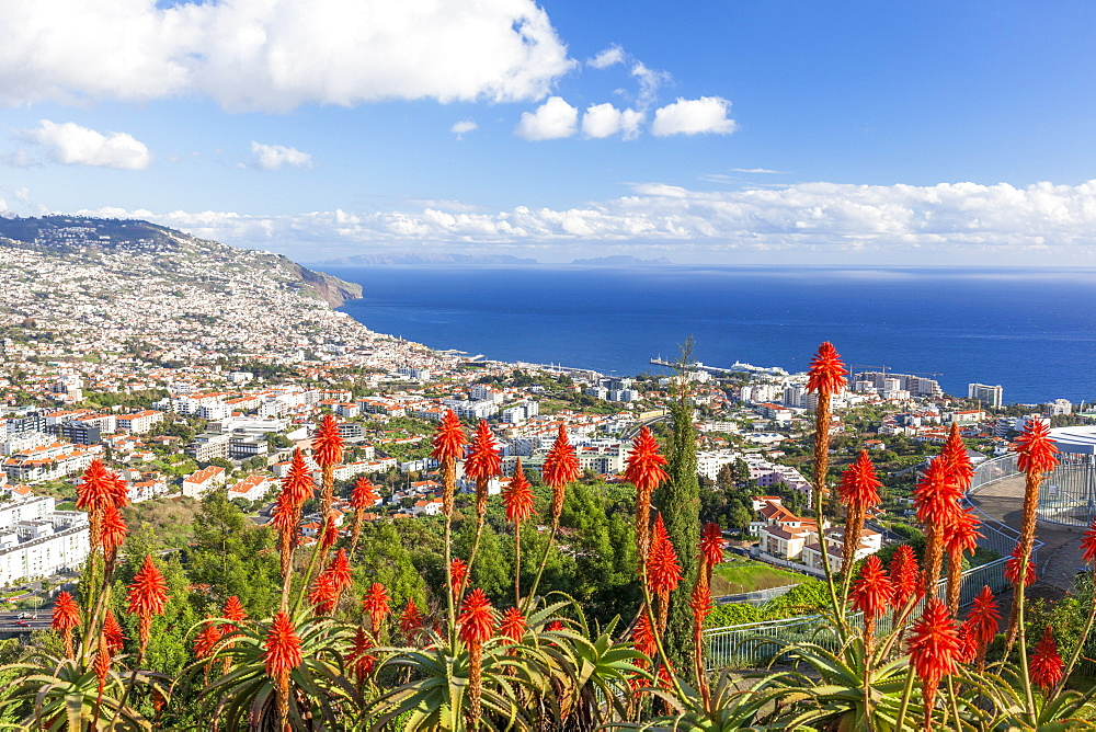View over Funchal, capital city of Madeira, city and harbour with red Kranz aloe flowers (Aloe arborescens), Madeira, Portugal, Atlantic, Europe - 698-3311