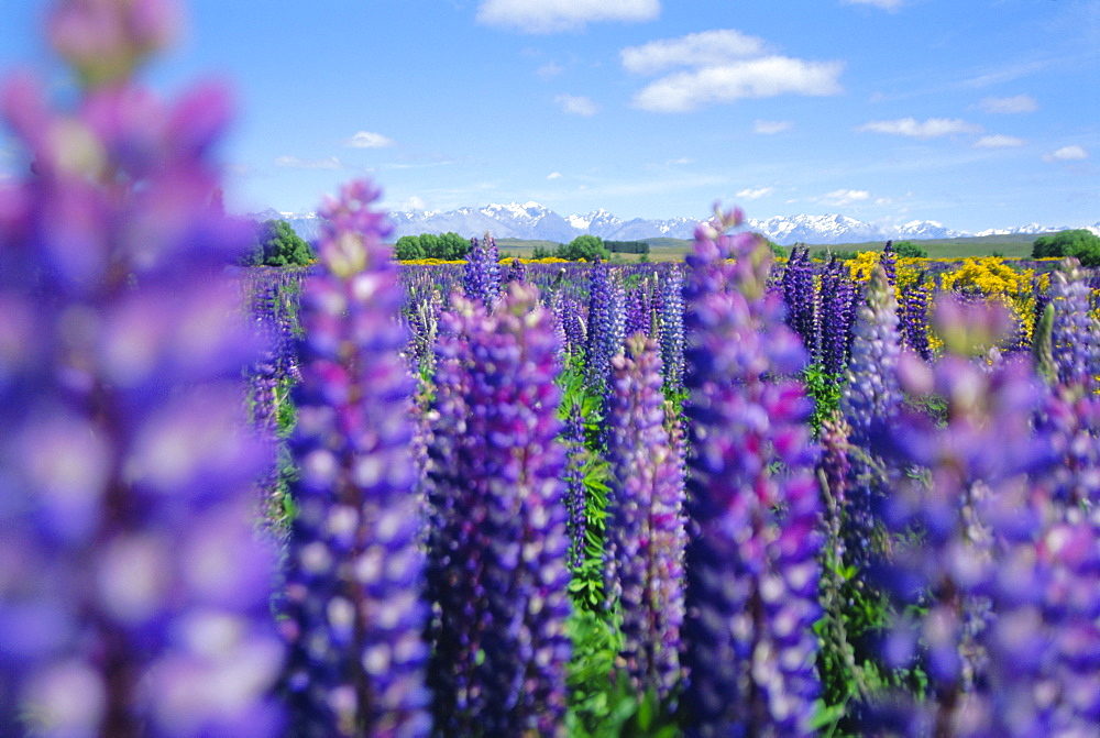 Wild lupins in the Mt Cook National Park, Canterbury, South Island, New Zealand - 698-42