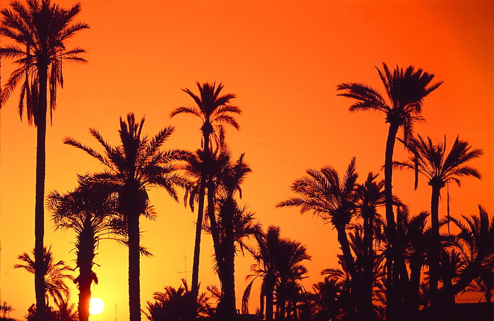 Palm grove silhouetted at dusk, Marrakesh - 701-152