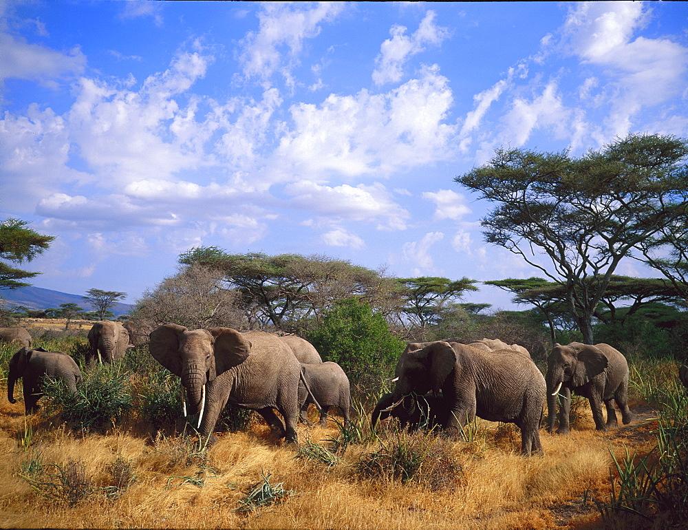 Elephant herd, Ngorongoro, Tanzania, Africa