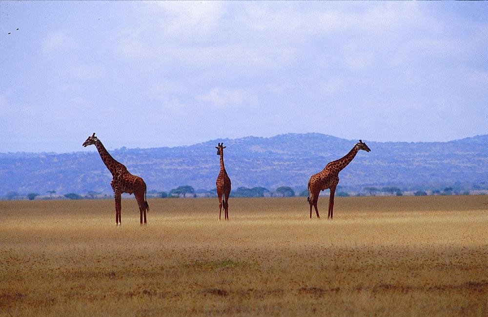 Giraffes on the Serengeti, Tanzania, Africa