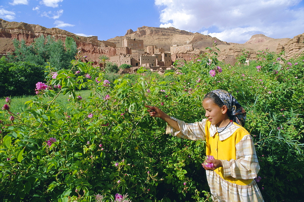 Cultivated roses, grown in the Dades Valley region, High Atlas, Morocco, North Africa