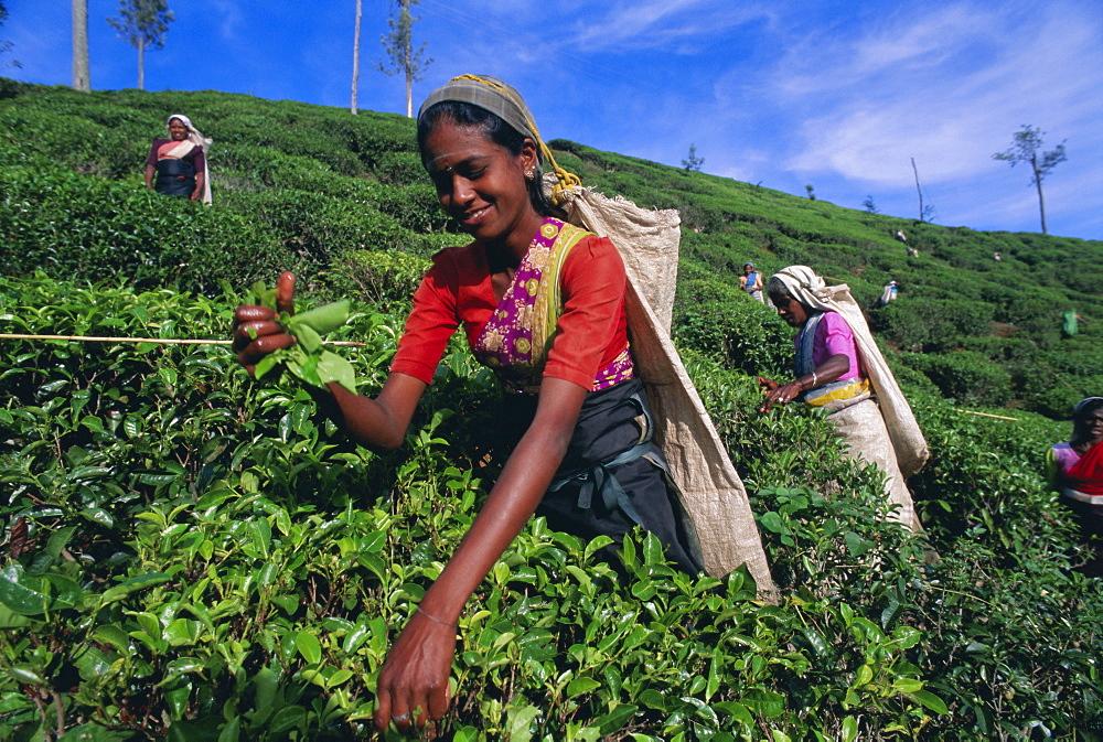 Harvesting tea, hill country, Nuwara Eliya, Sri Lanka, Asia