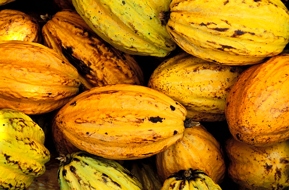 Cacao (cocoa), Basse Terre, Guadeloupe, Caribbean, Central America - 712-1740