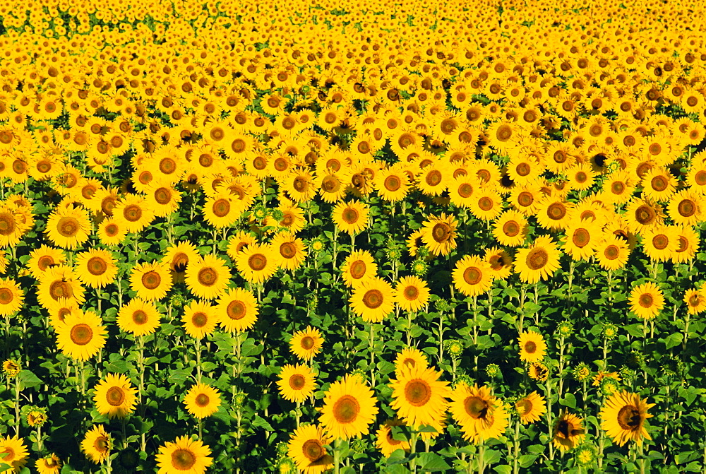 Field of sunflowers, Provence, Vaucluse, France - 712-186