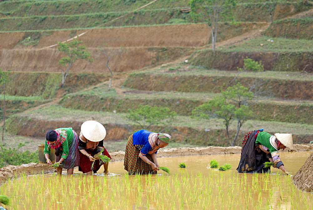 Flower Hmong women working in the rice field, Bac Ha area, Vietnam, Indochina, Southeast Asia, Asia