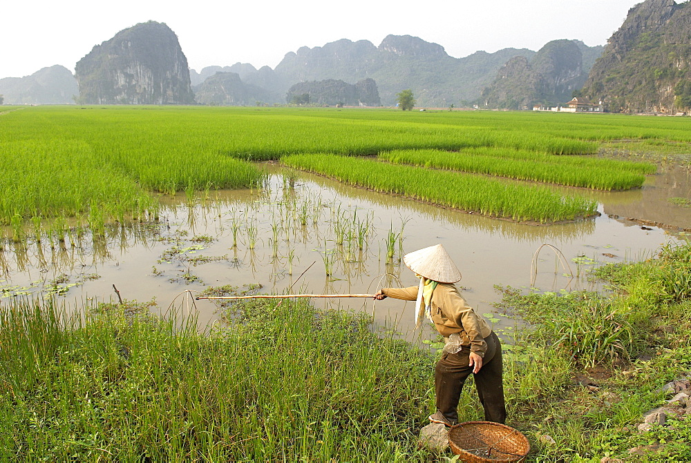 Fishing in the rice fields, Tam Coc, Ninh Binh area, Vietnam, Indochina, Southeast Asia, Asia